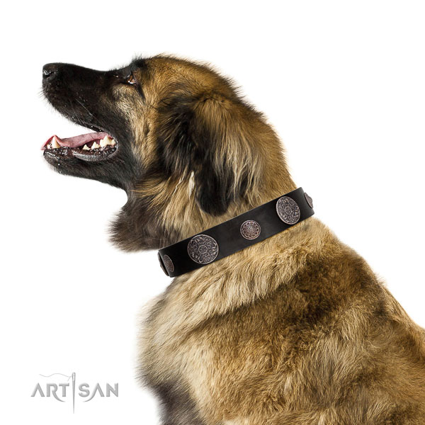 Royal look black leather Leonberger collar with silver-like covered decorative elements