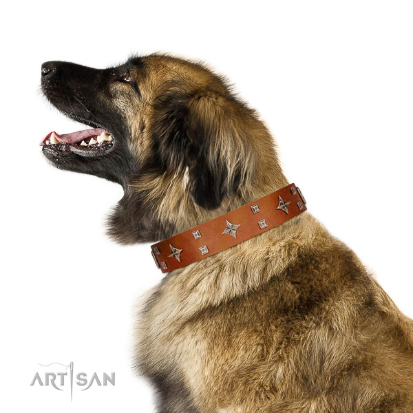 Royal look tan leather Leonberger collar with silver-like covered decorative elements