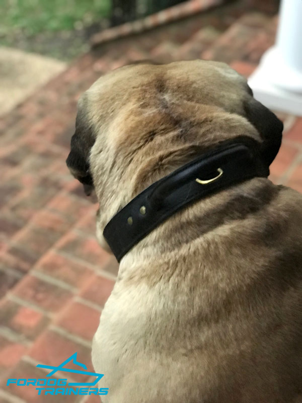 Mastiff Leather Collar with Brass Hardware for Controlling Maverick