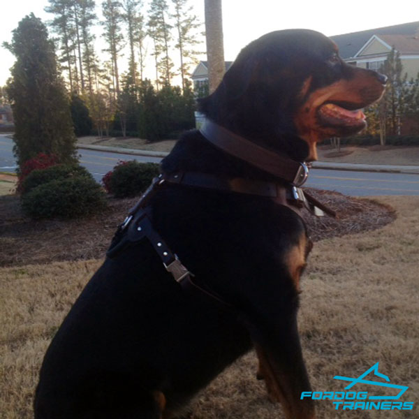 Leather  Rottweiler Collar with Felt Padding for Safe Training