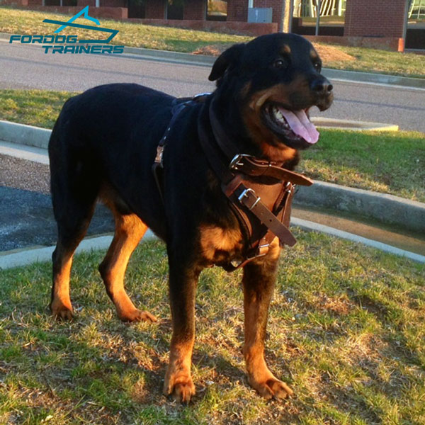 Padded Dog Collar Leather for  Rottweiler