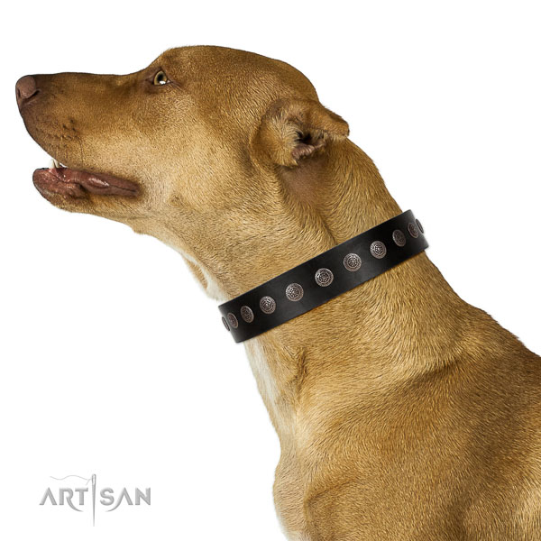Extraordinary walking black leather Pitbull collar with chic decorations