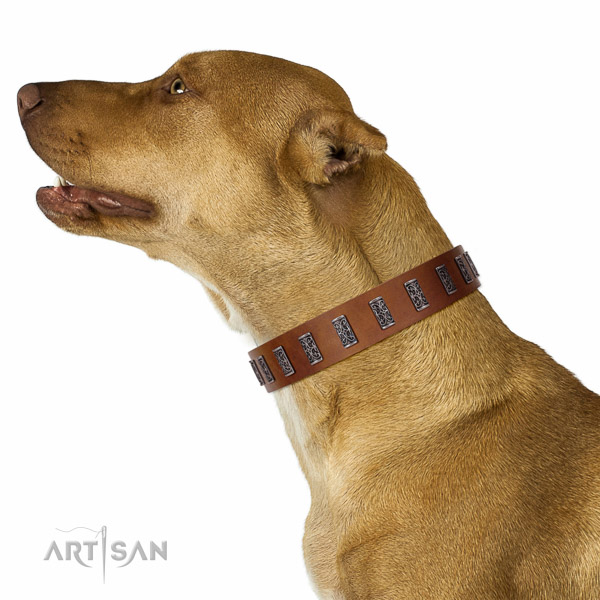Extraordinary walking tan leather Pitbull collar with