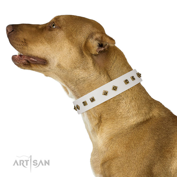 Pitbull comfortable wearing dog collar of top notch quality leather