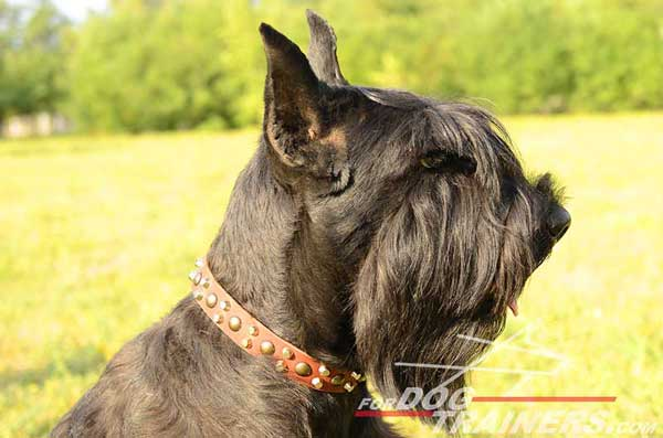 Walking Leather Riesenschnauzer Collar