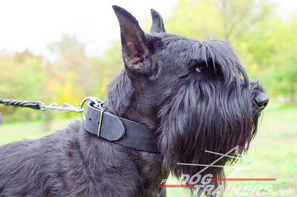 Riesenschnauzer Obedience Dog Collar