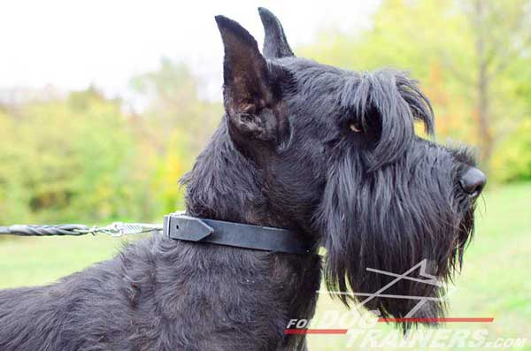 Training Dog Collar for Riesenschnauzer
