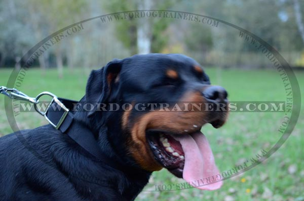 Walking Rottweiler Collar Nylon Classic Design