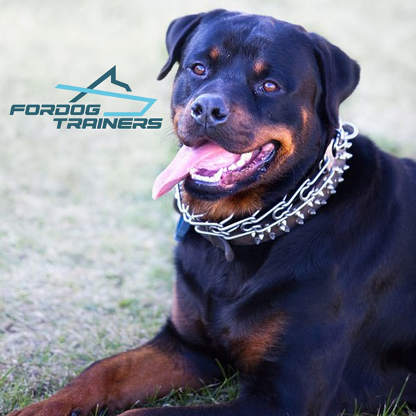 Stainless Steel Rottweiler Prong Collar for Rambo