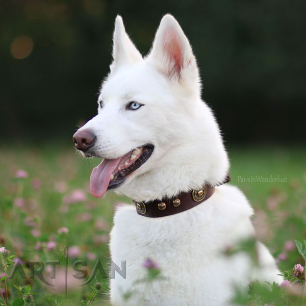Siberian Husky Titan Wearing Gorgeous Leather Dog Collar