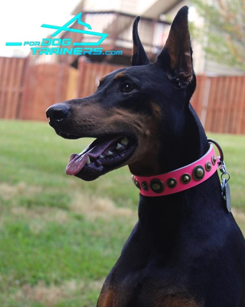 Stylish Pink Leather Collar for Stylish Doberman