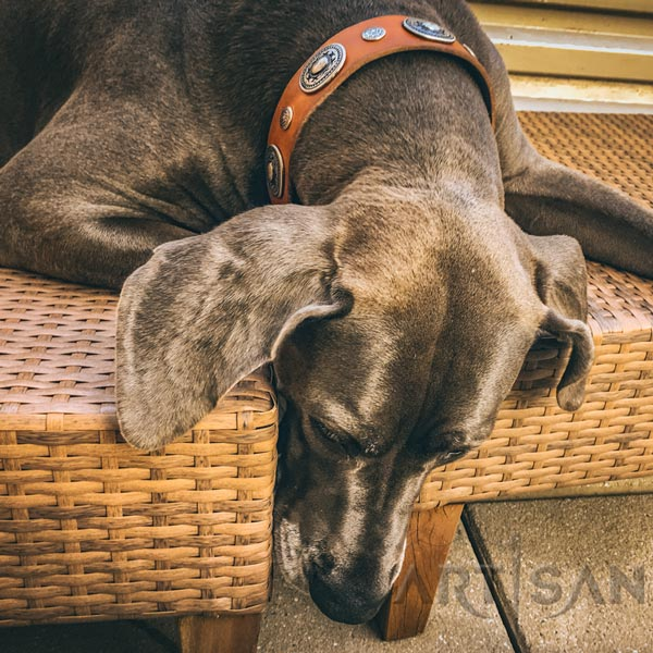 Tan leather Great Dane collar crafted for Gracie