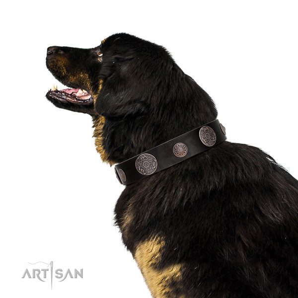 Incredible quality leather Tibetan Mastiff collar for better handling