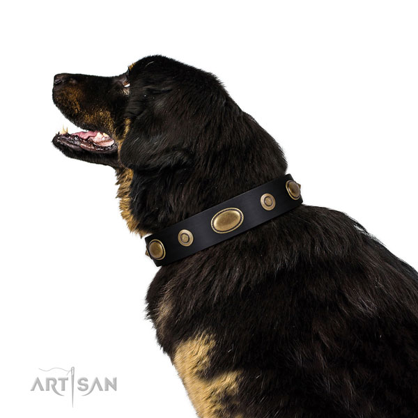 Tibetian Mastiff comfortable wearing dog collar of stylish leather