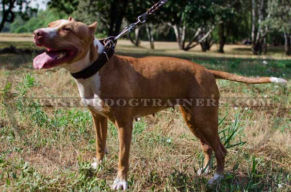 Leather Collar for Strong Pitbull Breed