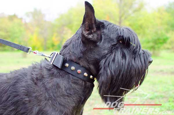 Nylon Riesenschnauzer collar for training