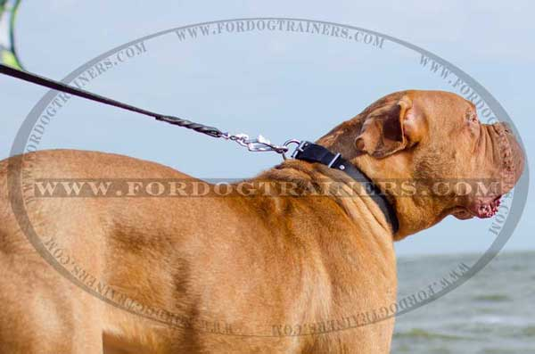 Simple Collar for Dogue-de-Bordeaux