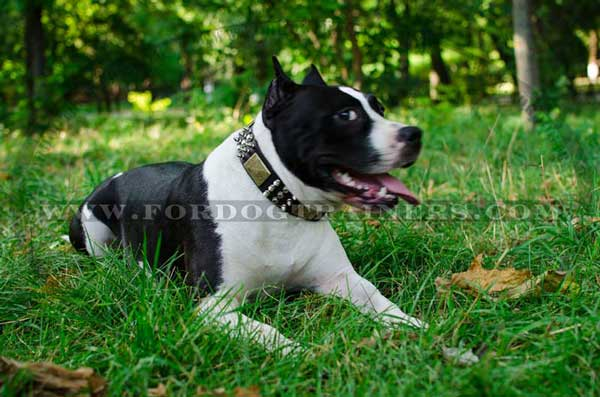 Decorated Amstaff Collar of Pure Leather