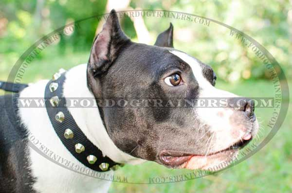 Dog Collar for Amstaff