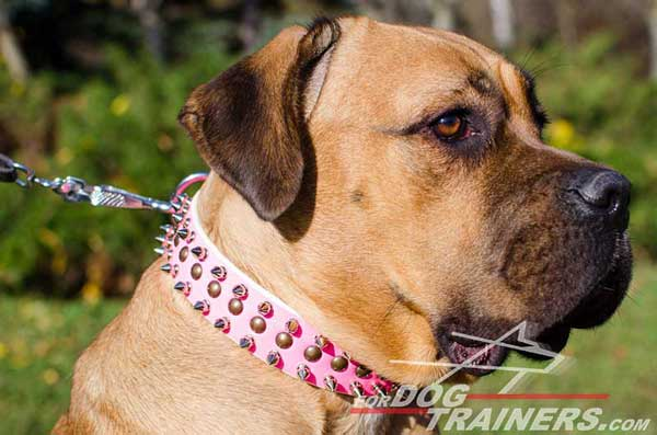 Well-Made Pink Leather Cane Corso Collar with Columns of Spikes and Studs