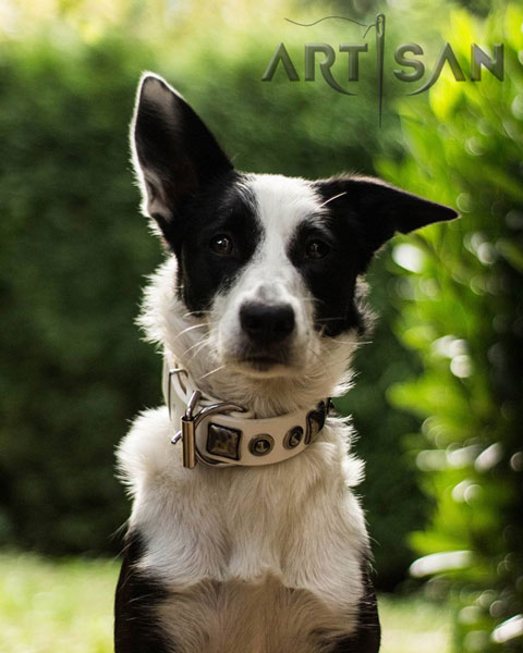 White Border Collie collar for Punky