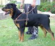 Tracking/Pulling Leather Dog Harness- Rottweiler large harness