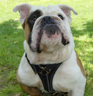 Tracking Walking leather dog harness for english bulldog harness