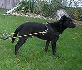 All Weather Nylon dog harness for tracking / walking Designed to fit - H6_1