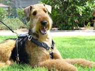 Great looking Airedale Terrier wearing our Luxury handcrafted leather dog harness H7
