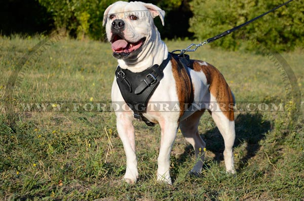 Pure leather padded adjustable dog harness for American Bulldog