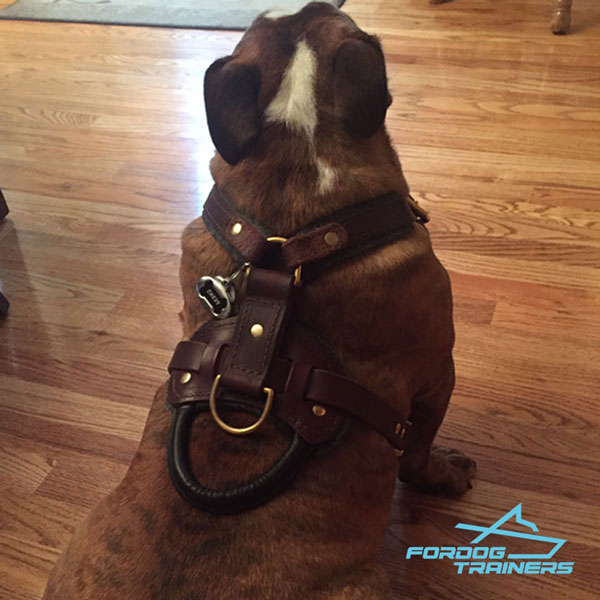 Padded Leather English Bulldog Harness for Daily Training