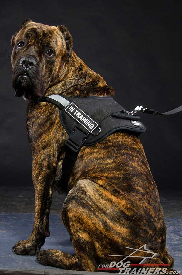 Adjustable Cane Corso harness of strong nylon