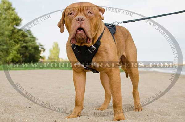Dogue-de-Bordeaux training harness
