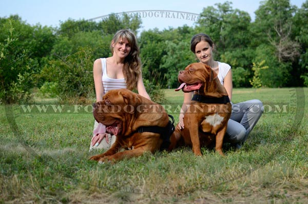 Pulling Dogue-de-Bordeaux harness nylon