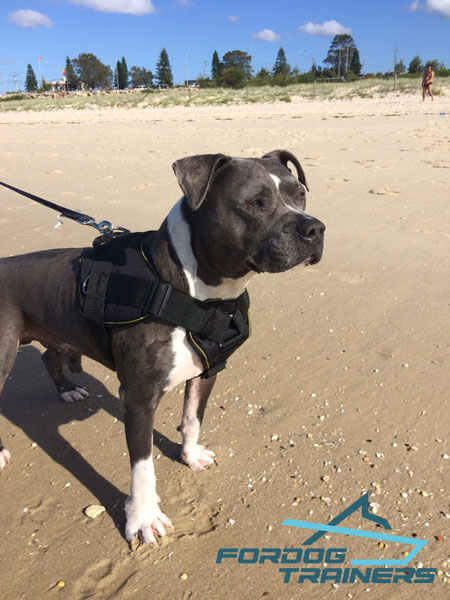 Daily Walking & Training Nylon Amstaff Harness