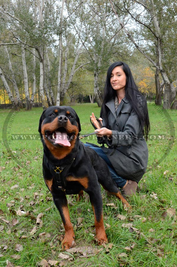 Agitation training harness for Rottweiler
