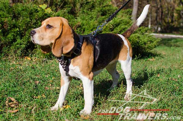 Beagle Black Leather Dog Harness with Adjustable Straps