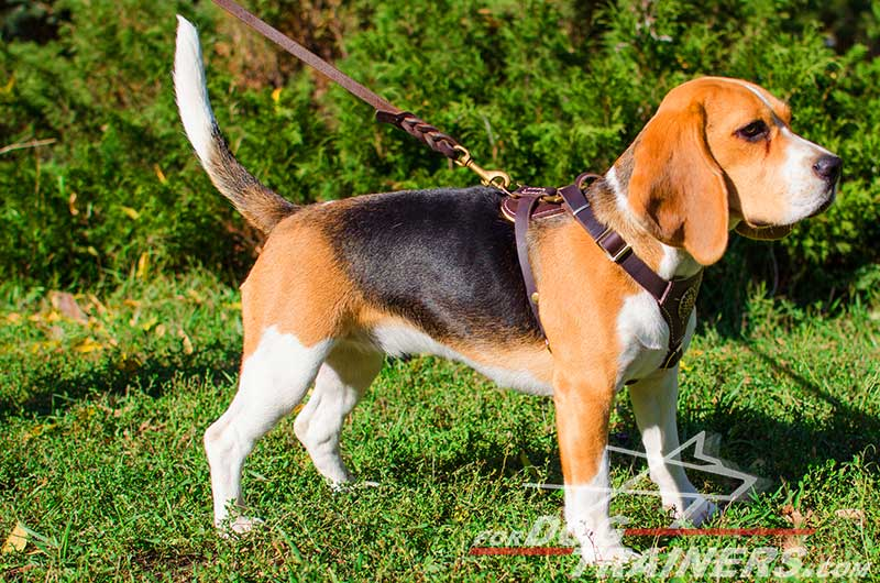 Leash training puppies with harness