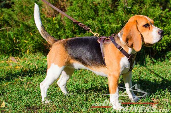 Royal Leather Beagle Harness of Brown Color