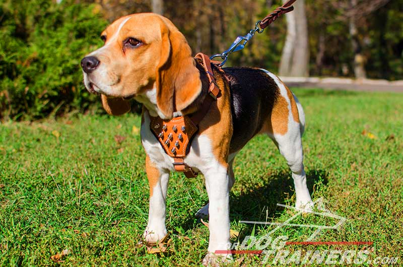 Leather Beagle Harness With Spiked