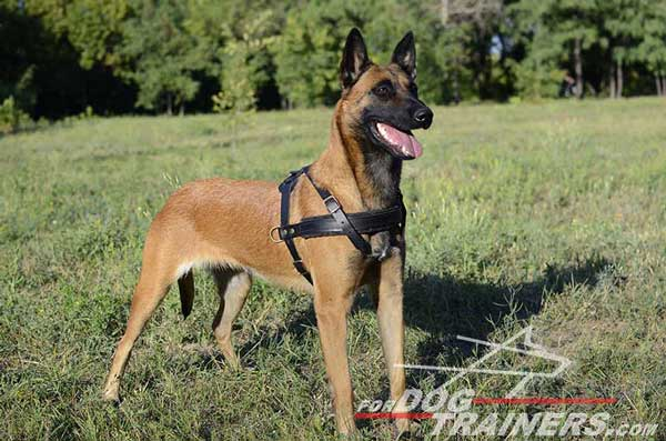 Tracking Leather Belgian Malinois Harness