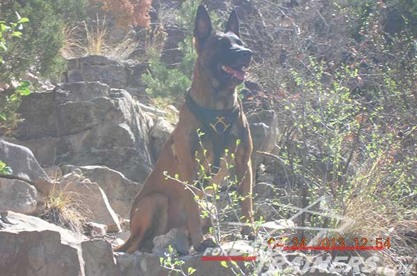 Leather Belgian Malinois Harness with padded chest plate