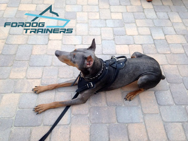 Easy Adjustable Leather Harness on Looks Cool on Doberman
