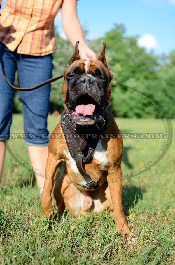 Boxer Leather Harness for Agitation Training