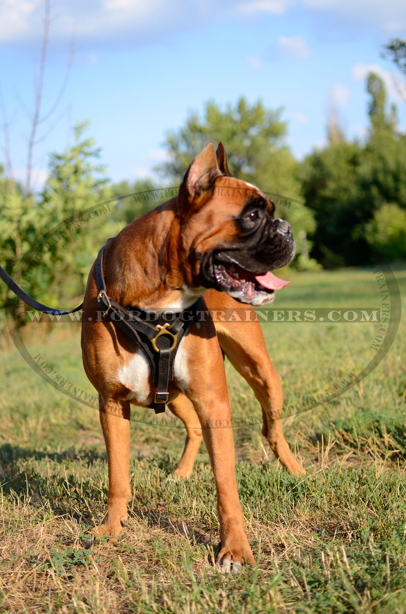 tracking dog harness made of leather and created to fit boxer h3 tracking harness for boxer breed