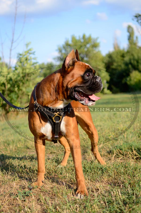 Leather Walking Harness for Boxer Breed