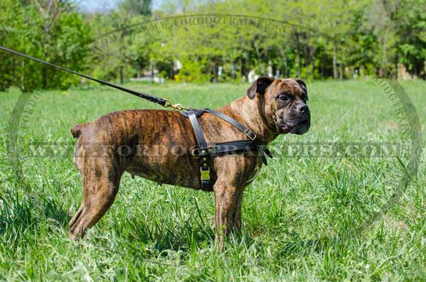 Boxer Leather Harness for Pulling Training