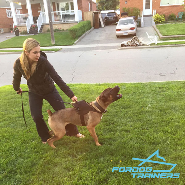 Professional Cane Corso Harness of Water-proof Nylon