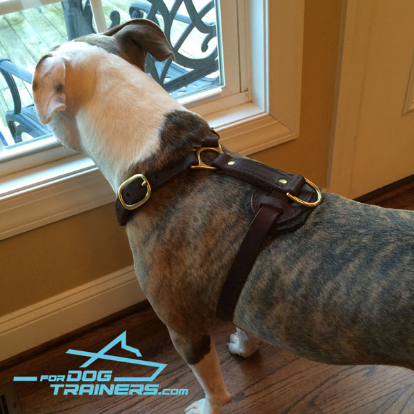 Leather Pitbull harness with felt padded back plate