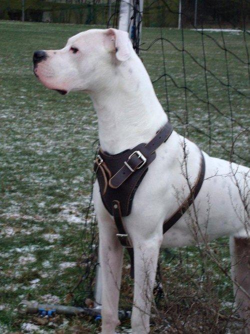 Argentinian Mastiff Breed Standard Dog Supplies